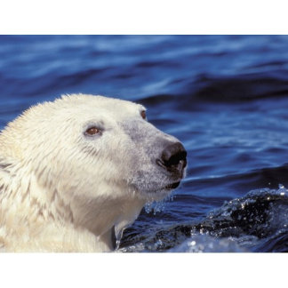 North America Arctic Circle Polar Bear