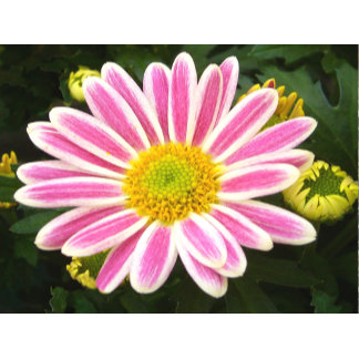 Candy Stripe Chrysnathemum