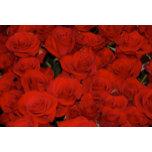 800px-Red_roses.jpg