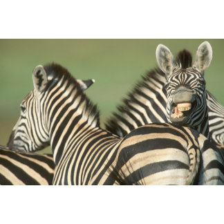 Burchell's Zebra (Equus burchellii). Tala