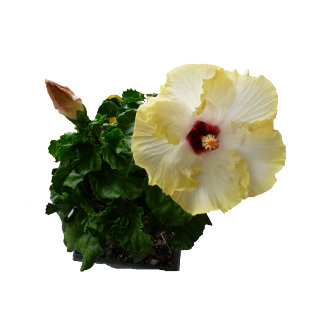 Big Hibiscus Flower with foliage