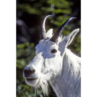 Mountain Goat, Oreamnos americanus, In Glacier