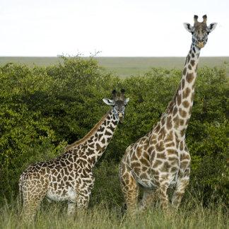 Giraffes in Kenya, Africa 2