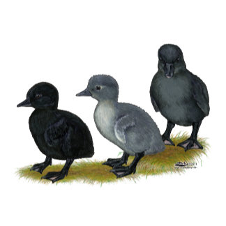 Blue Runner Ducklings
