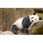 Giant-Panda-1800x2880.jpg