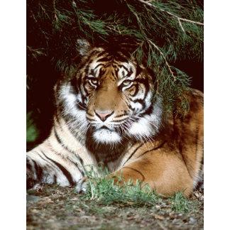 Shaded Tiger