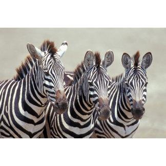 Africa, Tanzania, zebras