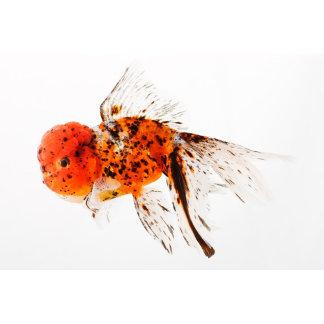 Calico lionhead goldfish (Carassius auratus).