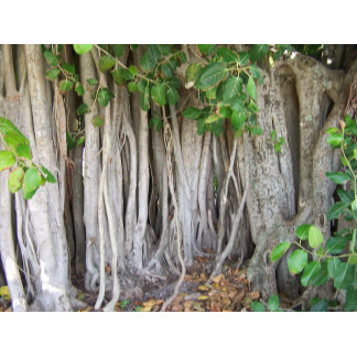 Ficus tree aerial roots background picture