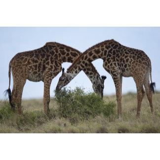 Africa, Kenya, Masai Mara Game Reserve, Two