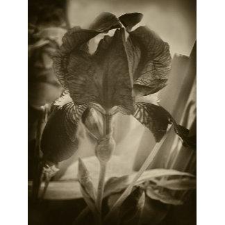 Antiqued Iris Flowers