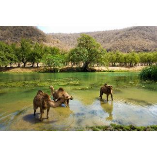 Oman, Wadi darbat, dromedaries pasturing in the