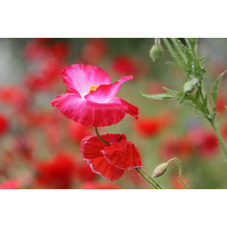 Pink and Red Poppies Photo