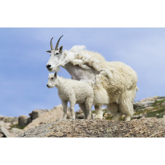 A Mountain Goat with Baby