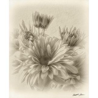 Daisy and Chrysanthemum