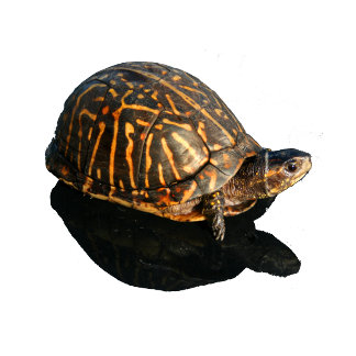 Florida Box turtle Photograph with Shadow Cutout