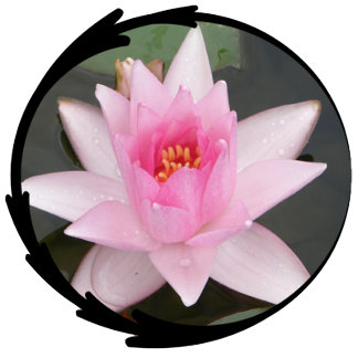 Pink Lotus Flower/Water Lily Photo