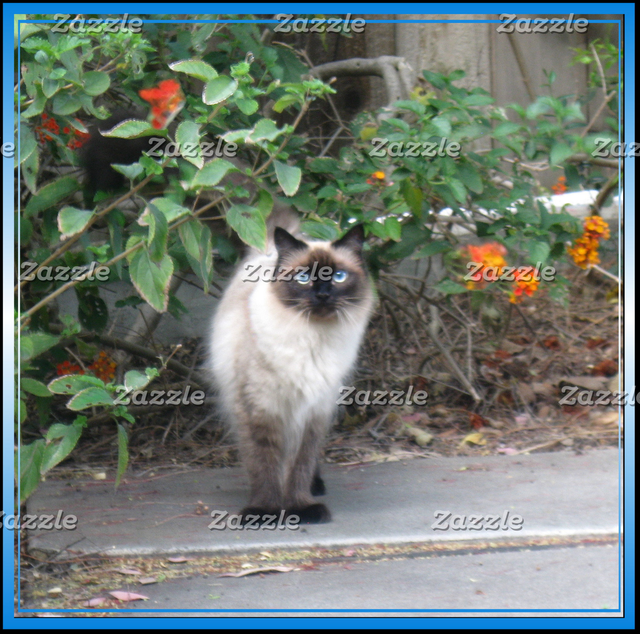 Himalayan Mix cat