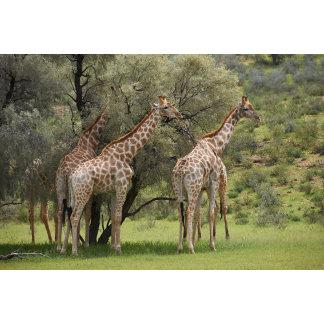 Giraffe, Giraffa camelopardalis, Kgalagadi 2