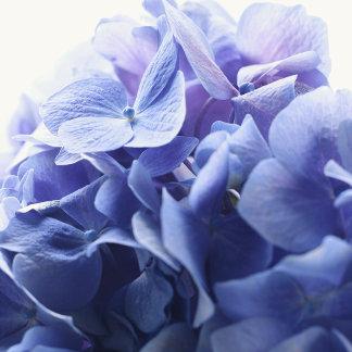 """blue hydrangea blossoms poster print"""