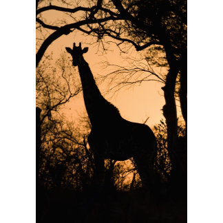 Giraffe (Giraffa camelopardalis) silhouette