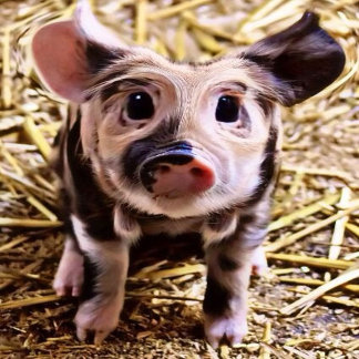 altered piglet