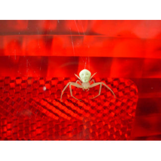 White Spider Ruebbelke
