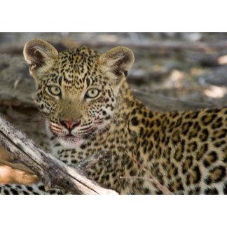 8 month old leopard cub
