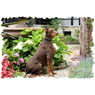 Doberman - In the Church Garden