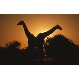 Giraffe (Giraffa camelopardalis) Pair