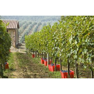 Italy, Tuscany, Montalcino. Bins of harvested