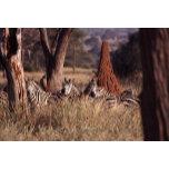 Zebras_Termite_Mound[1].jpg