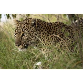 Kenya, Masai Mara Game Reserve. African Leopard
