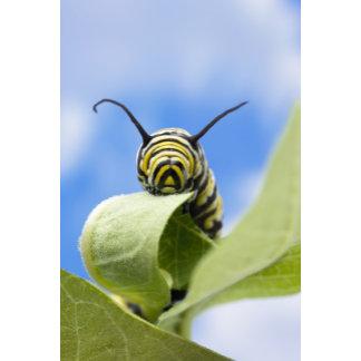 Black and yellow caterpillar