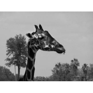 Giraffe Blue Sky bw version photograph picture