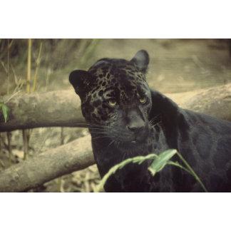Jaguars / Panthers