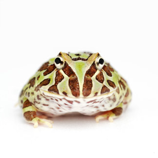 Ceratophrys Cranwelli, Cranwell's Horned Frog,