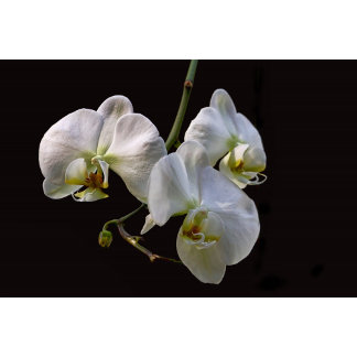 White Orchids Photo on Black Background