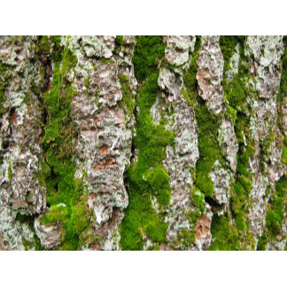 Pine Tree Bark With Moss