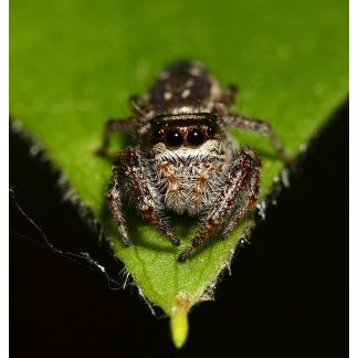 Spider Leedom