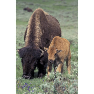 NA, USA, Wyoming, Yellowstone National Park.