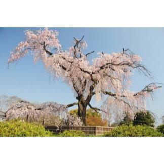 Japan, Kyoto. Weeping cherry tree under blue sky