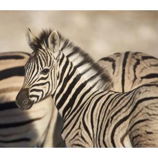 Burchell's Zebra (Equus quagga burchellii) foal