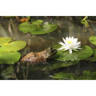 Bullfrog in Lily Pond