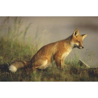 Canada, Quebec. Red fox cub at sunrise. Credit