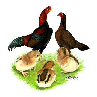 Aseel Black Red Chicken Family