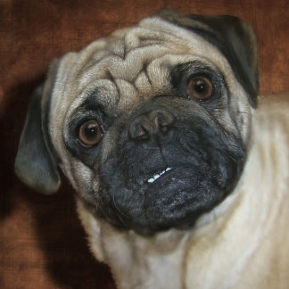 "Pug ""Zena"""