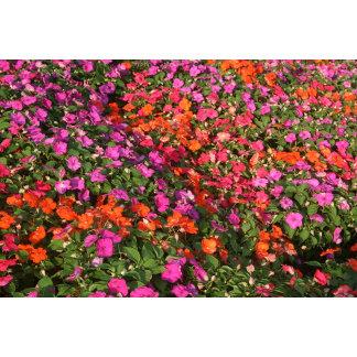 Field of purple pink orange impatients flowers