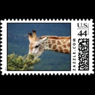 * Giraffes
