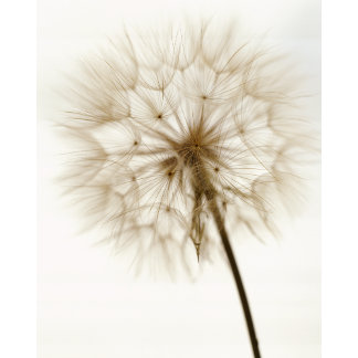 """dandelion w/ stem poster print"""